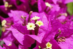 Bougainvillea pink and yellow blossoms Stock Images