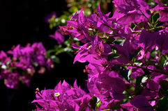 Bougainvillea plant in bloom royalty free stock image