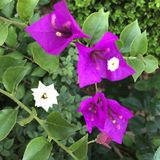Bougainvillea plant in Missouri royalty free stock images