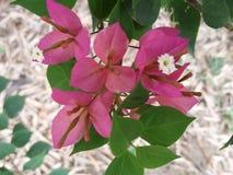 Paper flower. Bougainvillea plantae magnoliophyta Stock Images