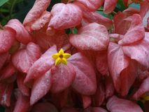 Bougainvillea. Plumeria - the flower of South East Asia stock image