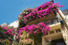 Bougainvillea - is a popular decoration cities in the subtropics Royalty Free Stock Photo