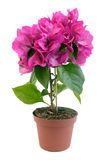 Bougainvillea in pot Stock Images
