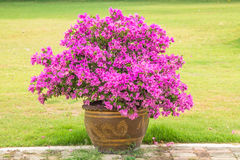 Bougainvillea in pot. Royalty Free Stock Photo