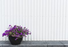Bougainvillea pot on a side walk Royalty Free Stock Photos
