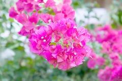 Bougainvillea ,Provincial flower of phuket thailand Royalty Free Stock Photo