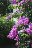 Bougainvillea purple flower in nature Royalty Free Stock Images