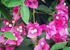 Bougainvillea purple flowers, gardening theme. Bougainvillea purple flowers. Gardening theme. Seasonal natural scene Stock Photos