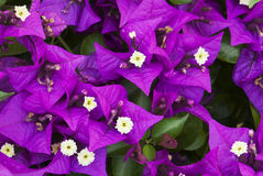 Bougainvillea purple flowers Stock Photo