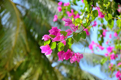 Bougainvillea purple in the sky and palm tree Stock Images