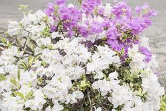 Bougainvillea. Purple white flora flower royalty free stock photos