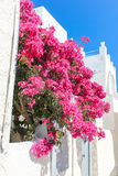 Bougainvillea in Pyrgos royalty free stock photos