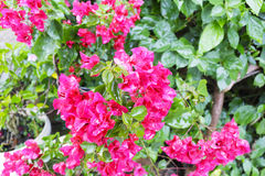 Bougainvillea in rain Royalty Free Stock Images