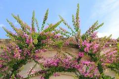 Bougainvillea rambler plant on a house facade Royalty Free Stock Photos