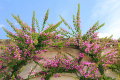 Bougainvillea rambler plant on a house facade Stock Photos