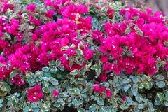 Bougainvillea Royalty Free Stock Photo