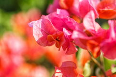 Bougainvillea red flower Stock Images