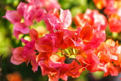 Bougainvillea red flower Stock Photography
