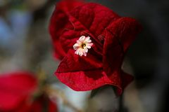 Bougainvillea red flower macro background wallpaper high quality prints 50,6 Megapixels products