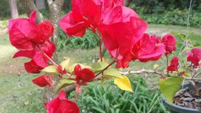 Bougainvillea. Red bougainvillea flowers Stock Photography