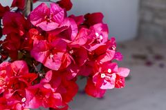 Bougainvillea,  red flowers, texture. Bougainvillea, red flowers texture background Royalty Free Stock Photography