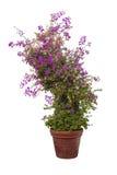 Bougainvillea roślina na białym tle Zdjęcia Royalty Free