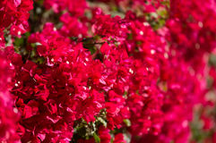 Bougainvillea rojo Foto de archivo