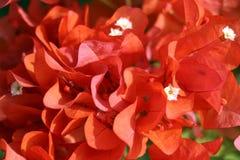 Bougainvillea rojo Foto de archivo libre de regalías