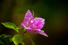 Bougainvillea roxo Imagem de Stock