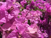Bougainvillea: roze bloem Royalty-vrije Stock Afbeelding