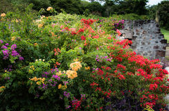 Bougainvillea at rum factory royalty free stock photo