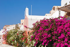 Bougainvillea on Santorini Royalty Free Stock Image