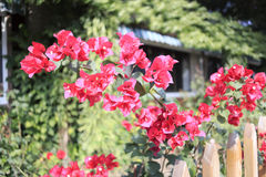 Bougainvillea side of the fence Stock Images