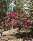 Bougainvillea - släktet namnges efter Louis Antoine de Bougainvill arkivfoton