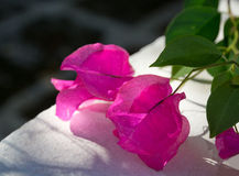 Bougainvillea sleeping in the sun Royalty Free Stock Images