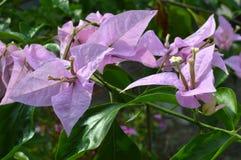 Bougainvillea spectabilis Royalty Free Stock Photo