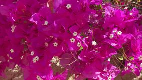 Bougainvillea spectabilis also known as Buganvilla plant. Background shot of Bougainvillea spectabilis also known as Buganvilla plant with fuchsia flower-like royalty free stock image