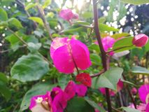 BOUGAINVILLEA SPECTABILIS, ALSO KNOWN AS GREAT BOUGAINVILLEA, IS A SPECIES OF FLOWERING PLANT. Garden flower nature pink green bougainvillea spectabilis also royalty free stock image