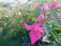 BOUGAINVILLEA SPECTABILIS, ALSO KNOWN AS GREAT BOUGAINVILLEA, IS A SPECIES OF FLOWERING PLANT. Garden flower nature pink green bougainvillea spectabilis also royalty free stock images