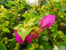 BOUGAINVILLEA SPECTABILIS, ALSO KNOWN AS GREAT BOUGAINVILLEA, IS A SPECIES OF FLOWERING PLANT. Garden flower nature pink green bougainvillea spectabilis also stock photo