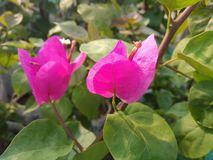 BOUGAINVILLEA SPECTABILIS, ALSO KNOWN AS GREAT BOUGAINVILLEA, IS A SPECIES OF FLOWERING PLANT. Garden flower nature pink green bougainvillea spectabilis also royalty free stock photography