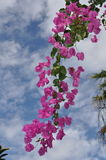 Bougainvillea Spectabilis. Blooming pink Bougenvillea branch against blue sky with clouds stock photography