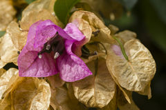 Bougainvillea spectabilis flower Stock Photo