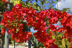 Bougainvillea spectabilis flowering Royalty Free Stock Photo