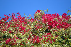 Bougainvillea spectabilis flowering Royalty Free Stock Photography