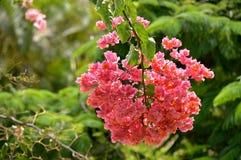Bougainvillea spectabilis kwiaty obraz stock
