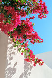 Bougainvillea spectabilis on the wall. Bougainvillea spectabilis on the white wall stock images