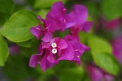 Bougainvillea spectabilis Willd. In the garden Stock Images