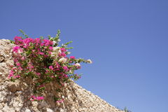 Bougainvillea on a stony wall Stock Images