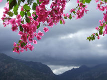 Bougainvillea - Storm - Mountains. Sunlit bougainvillea flowers in front of mountains in upcoming storm Stock Photography